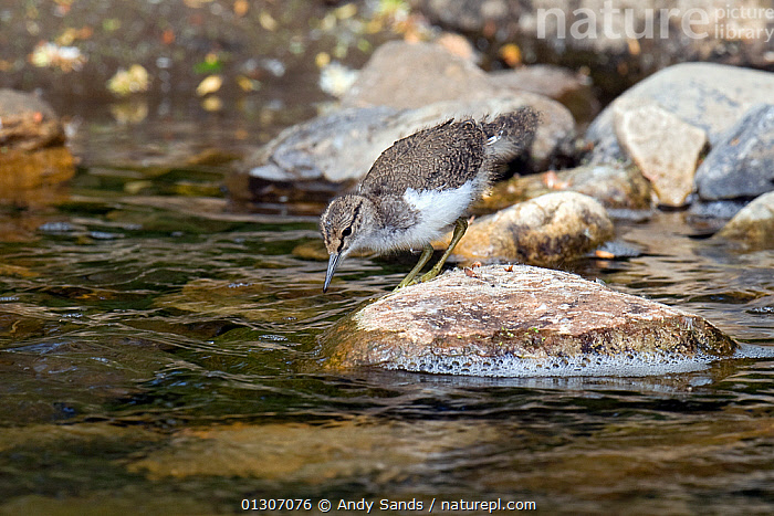 Common Sandpiper (Actitis hypoleucos) chick on exposed stone at edge of water, foraging for food, Upper Teesdale, Co Durham, England, UK, June  ,  BEHAVIOUR,BIRDS,CHICKS,ENGLAND,JUVENILE,SANDPIPERS,STREAMS,VERTEBRATES,WADERS,WATER,Europe,United Kingdom  ,  Andy Sands