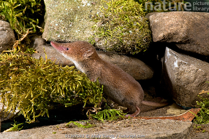 Common Shrew (Sorex araneus) standing among mossy stones, Captive, UK  ,  ENGLAND,INSECTIVORES,MAMMALS,PORTRAITS,SHREWS,UK,VERTEBRATES,Europe,United Kingdom  ,  Andy Sands