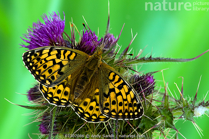 Dark Green Fritillary butterfly (Argynnis aglaja) at rest on Thistle flower, with wings open, UK, Captive  ,  ARTHROPODS,BUTTERFLIES,FLOWERS,INSECTS,INVERTEBRATES,LEPIDOPTERA,Mesoacidalia aglaia,PORTRAITS,PURPLE,UK,Europe,United Kingdom  ,  Andy Sands