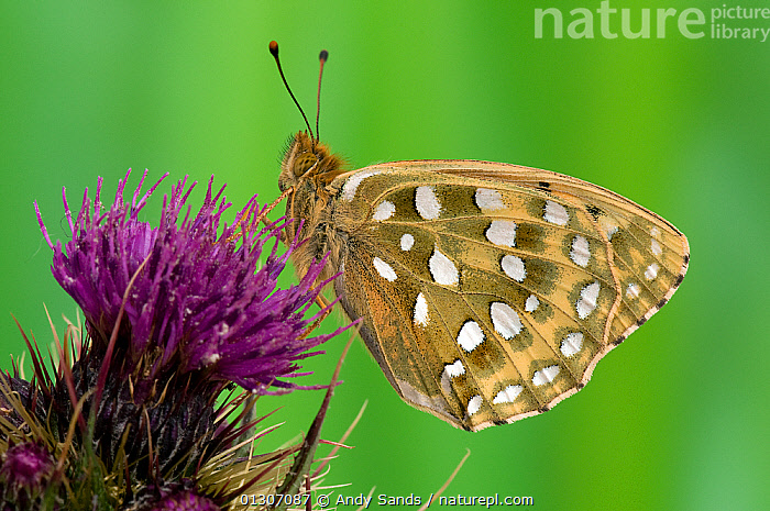 Dark Green Fritillary butterfly (Argynnis aglaja) at rest on Thistle flower, with wings closed, UK, Captive  ,  ARTHROPODS,BUTTERFLIES,FLOWERS,INSECTS,INVERTEBRATES,LEPIDOPTERA,Mesoacidalia aglaia,PROFILE,PURPLE,Europe,United Kingdom  ,  Andy Sands
