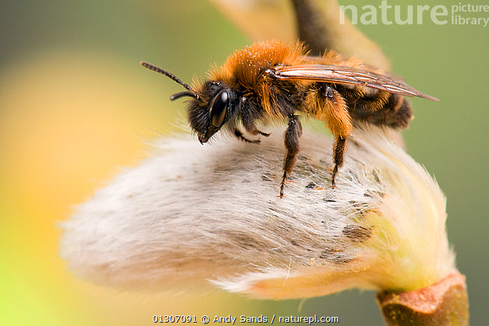 Mining Bee (Andrena clarkella) on Sallow catkin, Hertfordshire, England, UK, March  ,  ARTHROPODS,BEES,CLOSE UPS,FLOWERS,HYMENOPTERA,INSECTS,INVERTEBRATES,PORTRAITS,Europe,United Kingdom  ,  Andy Sands