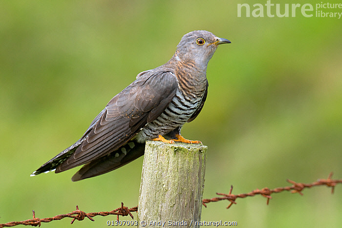 European Cuckoo (Cuculus canorus) female perched on fence post, Isle of Coll, Scotland, UK, June  ,  barbed wire,BIRDS,CUCKOOS,FEMALES,fences,SCOTLAND,VERTEBRATES,Europe,United Kingdom,UK , Inner Hebrides  ,  Andy Sands