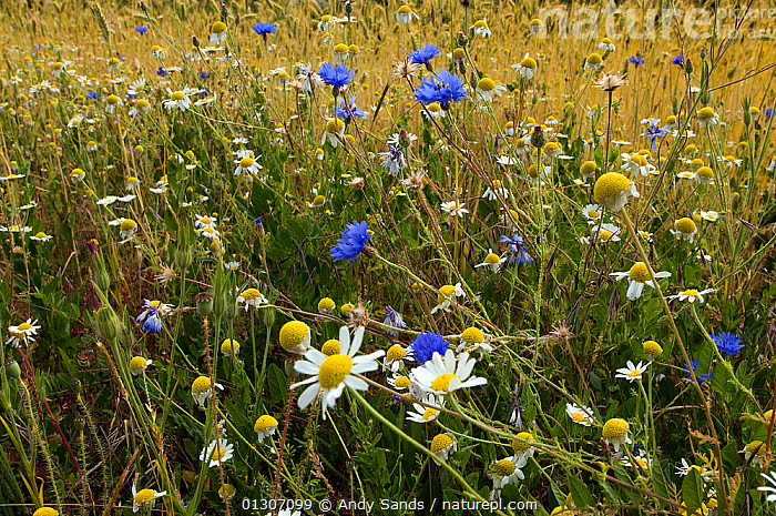 Corn chamomile (Anthemis arvensis) and Cornflowers (Centaurea cyanus) in flower at edge of cornfield, Bedfordshire, England, UK, May  ,  arable,ASTERACEAE,COLOURFUL,COMPOSITAE,DICOTYLEDONS,ENGLAND,FARMLAND,fields,FLOWERS,MEADOWLAND,MIXED SPECIES,PLANTS,SUMMER,UK,Europe,Grassland,United Kingdom  ,  Andy Sands