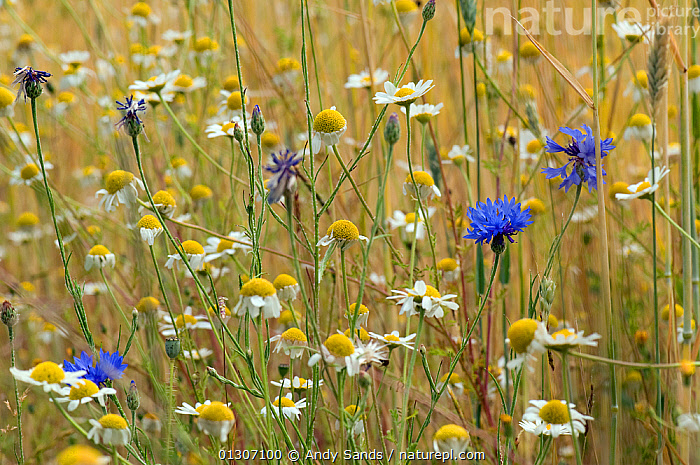 Corn chamomile (Anthemis arvensis) and Cornflowers (Centaurea cyanus) in flower at edge of corn field, Bedfordshire, England, UK, May  ,  arable,ASTERACEAE,COMPOSITAE,DICOTYLEDONS,ENGLAND,FARMLAND,fields,FLOWERS,MIXED SPECIES,PLANTS,SUMMER,UK,Europe,United Kingdom  ,  Andy Sands