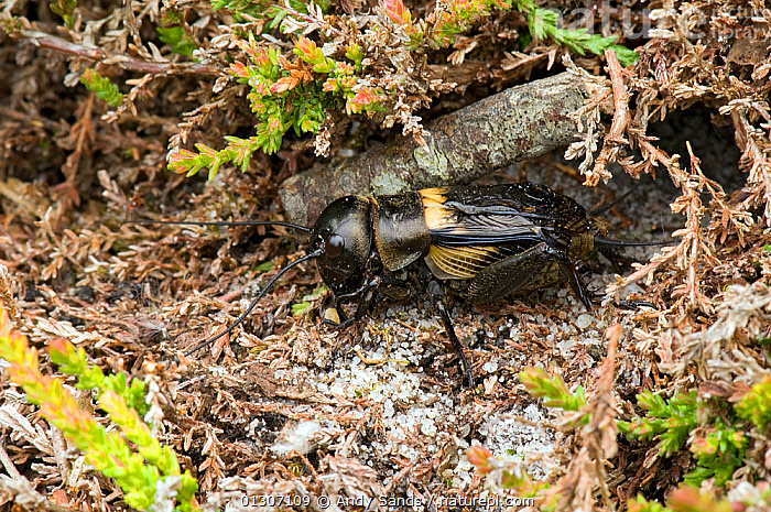 Field cricket (Gryllus campestris) emerging from burrow, West Sussex, England, UK, July  ,  CRICKETS,ENGLAND,GRASSHOPPERS,INSECTS,INVERTEBRATES,ORTHOPTERA,UK,Europe,United Kingdom  ,  Andy Sands