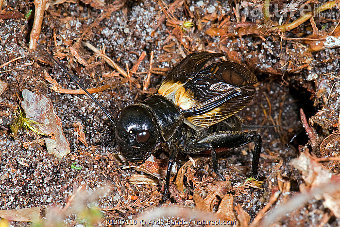 Field cricket (Gryllus campestris) male stridulating (creating noise by rubbing body parts together) at entrance to burrow, West Sussex, England, UK,  July  ,  BEHAVIOUR,CRICKETS,ENGLAND,GRASSHOPPERS,INSECTS,INVERTEBRATES,MALES,ORTHOPTERA,UK,VOCALISATION,Europe,United Kingdom  ,  Andy Sands