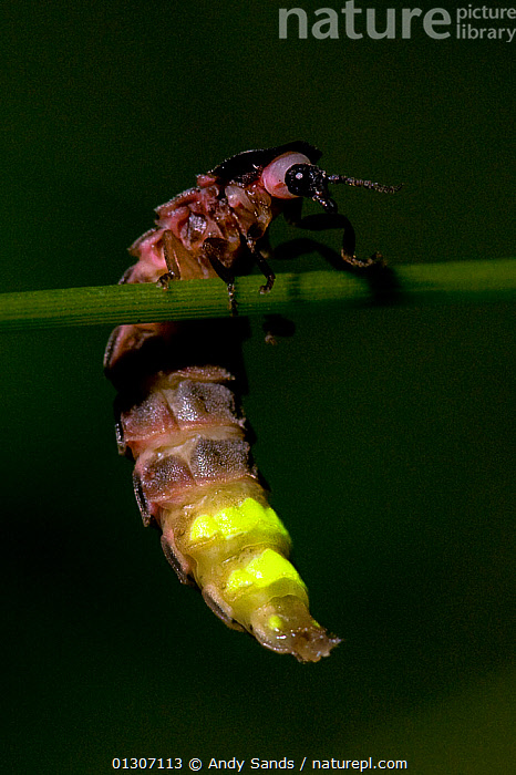 Glow worm (Lampyris noctiluca) climbing on stem of grass, with tail emitting bioluminescence, England, UK, July  ,  Balance,BEETLES,BIOLUMINESCENCE,catalogue3,CLIMBING,close up,CLOSE UPS,COLEOPTERA,CONCENTRATION,effort,emitting,ENGLAND,FIREFLIES,Grass,INSECTS,INVERTEBRATES,NIGHT,Nobody,outdoors,PINK,stem,tail,UK,VERTICAL,WILDLIFE,YELLOW,Europe,Plants,United Kingdom,,bioluminescence,  ,  Andy Sands