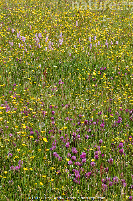 Red Clover (Trifolium pratense) and Common Bistort (Persicaria / Polygonum bistorta) growing with Buttercups in hay meadow, Upper Teesdale, Co. Durham, UK, June  ,  DICOTYLEDONS,ENGLAND,FABACEAE,FARMLAND,FLOWERS,GRASSLAND,LEGUME,MIXED SPECIES,PLANTS,POLYGONUM BISTORTA,UK,VERTICAL,Europe,United Kingdom  ,  Andy Sands