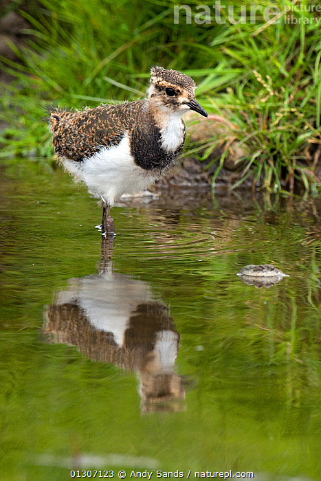 Lapwing (Vanellus vanellus) juvenile wading in shallow stream, with reflections, Upper Teesdale, Co. Durham, UK, June  ,  BIRDS,ENGLAND,JUVENILE,PLOVERS,REFLECTIONS,STREAMS,UK,VERTEBRATES,VERTICAL,WADERS,WALKING,Europe,United Kingdom  ,  Andy Sands