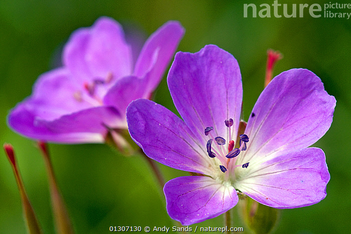 Wood Cranesbill (Geranium sylvaticum) close up of flowers, Upper Teesdale, Co. Durham, UK, June  ,  CLOSE UPS,DICOTYLEDONS,FLOWERS,GERANIACEAE,PLANTS,PURPLE,UK,Europe,United Kingdom  ,  Andy Sands