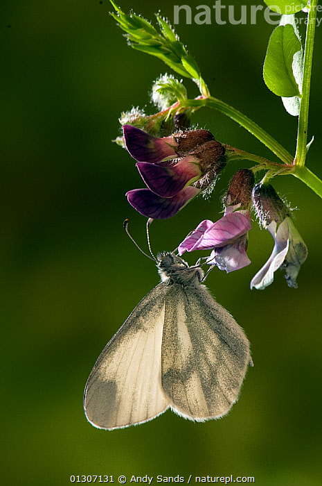Wood White butterfly (Leptidea sinapis) feeding on flower of Purple Milk-vetch, Captive, UK,  ,  BUTTERFLIES,FEEDING,FLOWERS,INSECTS,INVERTEBRATES,LEPIDOPTERA,nectar,UK,VERTICAL,Europe,United Kingdom  ,  Andy Sands