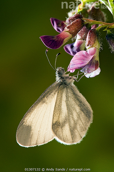 Wood White butterfly (Leptidea sinapis) feeding on flower of Purple Milk-vetch, Captive, UK,  ,  BUTTERFLIES,FEEDING,FLOWERS,INSECTS,INVERTEBRATES,LEPIDOPTERA,nectar,PURPLE,UK,VERTICAL,Europe,United Kingdom  ,  Andy Sands