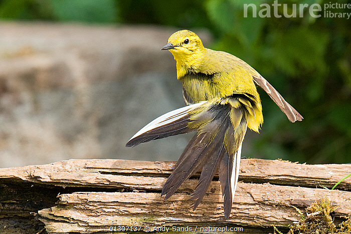 Yellow Wagtail (Motacilla flava flavissima) portrait of male with tail feathers fanned out, preening after bathing, Lincolnshire, UK, May  ,  BEHAVIOUR,BIRDS,ENGLAND,FEATHERS,GROOMING,MALES,PORTRAITS,preening,songbirds,TAILS,UK,VERTEBRATES,WAGTAILS,YELLOW,Europe,United Kingdom  ,  Andy Sands