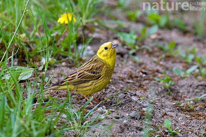 Yellowhammer (Emberiza citrinella) male foraging on ground at edge of hay meadow, Hertfordshire, UK, April  ,  BIRDS,BUNTINGS,ENGLAND,FORAGING,MALES,songbirds,UK,VERTEBRATES,YELLOW,Europe,United Kingdom  ,  Andy Sands