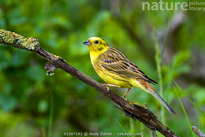 Yellowhammer (Emberiza citrinella) male perched on dead Elm twig by hedgerow, Hertfordshire, UK, April  ,  BIRDS,BUNTINGS,COUNTRYSIDE,ENGLAND,MALES,PORTRAITS,songbirds,UK,VERTEBRATES,YELLOW,Europe,United Kingdom  ,  Andy Sands