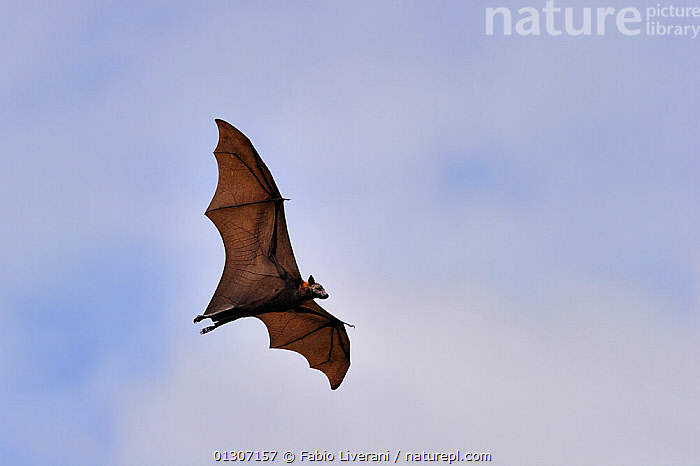 Indian Flying fox (Pteropus giganteus) in flight, Mawanella, Sri Lanka.  ,  ASIA,BATS,CHIROPTERA,FLYING,FRUIT BATS,INDIAN SUBCONTINENT,MAMMALS,SRI LANKA,VERTEBRATES  ,  Fabio Liverani