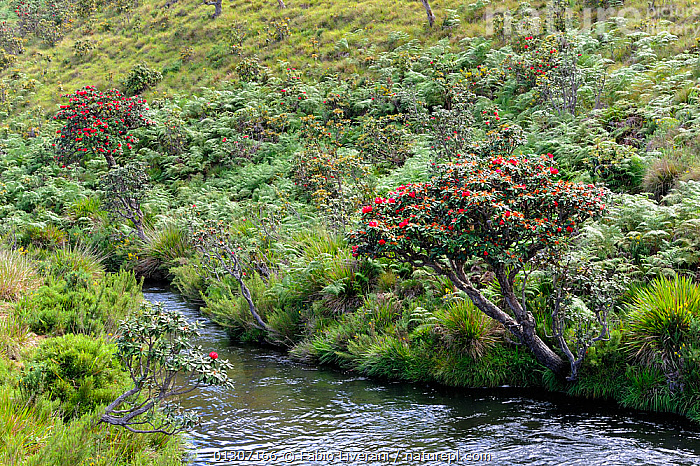 View of river, and surrounding grassland, with flowering trees, Horton Plane National Park, Sri Lanka, June 2010  ,  ASIA,INDIAN SUBCONTINENT,LANDSCAPES,RIVERS,SRI LANKA,WATER  ,  Fabio Liverani