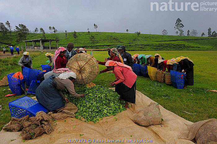 Women of ethnic Tamil tribe, collecting Tea plant (Rhododendron) for tea production at the Blu Field Tea Factory, Nuwara Eliya, Sri Lanka. June 2010  ,  AGRICULTURE, ASIA, CROPS, DICOTYLEDONS, ERICACEAE, HARVESTING, indian subcontinent, LEAVES, PEOPLE, PLANTS, sri lanka, tea, TRIBES, WOMEN  ,  Fabio Liverani