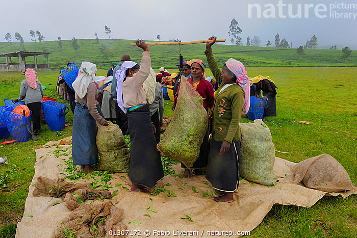 Women of ethnic Tamil tribe, bagging up the harvested Tea plant (Rhododendron) for tea production at the Blu Field Tea Factory, Nuwara Eliya, Sri Lanka. June 2010  ,  AGRICULTURE, ASIA, CROPS, DICOTYLEDONS, ERICACEAE, indian subcontinent, INDUSTRY, PEOPLE, plantation, PLANTS, sri lanka, tea, TRIBES, WORKING  ,  Fabio Liverani