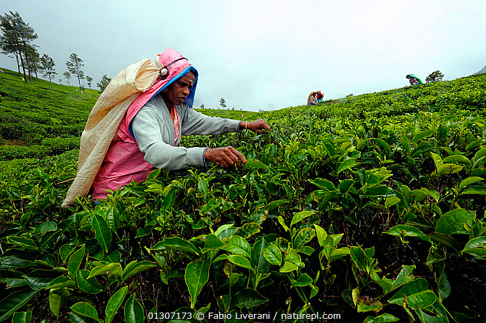 Woman of ethnic Tamil tribe, harvesting Tea plant (Rhododendron) for tea production at the Blu Field Tea Factory, Nuwara Eliya, Sri Lanka. June 2010  ,  AGRICULTURE, ASIA, CROPS, DICOTYLEDONS, ERICACEAE, indian subcontinent, INDUSTRY, PEOPLE, plantation, PLANTS, sri lanka, tea, TRIBES, WOMAN, WORKING  ,  Fabio Liverani