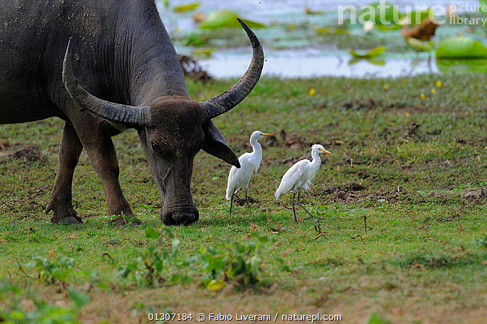 Water Buffalo (Bubalus arnee) grazing near edge of water,with Cattle Egrets (Bubulcus ibis) Yala National Park, Sri Lanka,  ,  ASIA,BIRDS,HERONS,INDIAN SUBCONTINENT,MIXED SPECIES,NP,SRI LANKA,VERTEBRATES,National Park  ,  Fabio Liverani