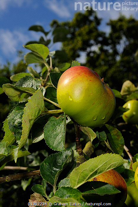 Granny Smiths Apple (Malus domestica) on tree, in an orchard, Wirral, England, UK. August 2009  ,  AUTUMN, CLOSE-UPS, CULTIVATED, DICOTYLEDONS, ENGLAND, FRUIT, PLANTS, ROSACEAE, SUMMER, UK,Europe,United Kingdom  ,  Graham Eaton