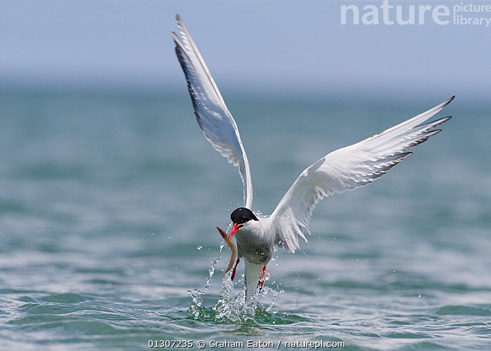 Arctic Tern (Sterna paradisaea) fishing for sandeel (Ammodytes) Cardigan Bay, Wales, July  ,  AMMODYTES GENUS,BEHAVIOUR,BIRDS,COASTS,FISHING,SEA,SEABIRDS,TERNS,UK,VERTEBRATES,WALES,WATER,Europe,United Kingdom  ,  Graham Eaton