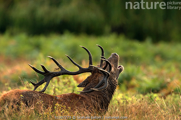 Red Deer Stag (Cervus elaphus) with antlers decorated with mud and grass, and head thrown back, calling during the rut, London, September 2009.  ,  ANTLERS,ARTIODACTYLA,AUTUMN,BEHAVIOUR,CALLING,CERVIDS,COURTSHIP,DEER,MALES,MAMMALS,VERTEBRATES,VOCALISATION  ,  Graham Eaton