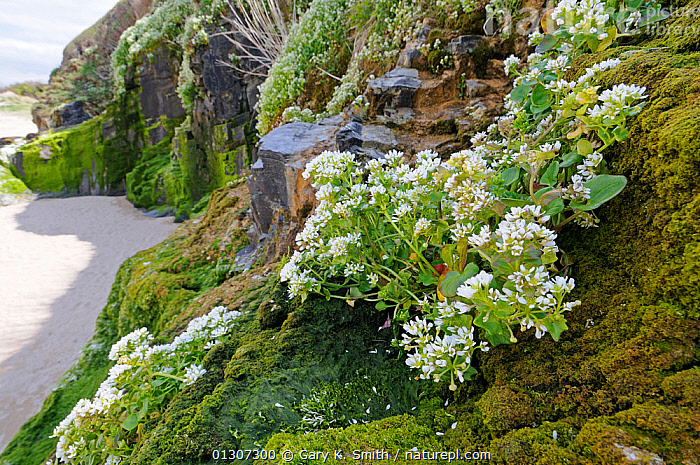Common Scurvygrass (Cochleria officinalis) growing on coastal cliffs, North Cornwall, England, UK, May  ,  BEACHES,BRASSICA,BRASSICACEAE,CLIFFS,COASTS,DICOTYLEDONS,ENGLAND,FLOWERS,PLANTS,Geology,Europe,United Kingdom  ,  Gary K. Smith