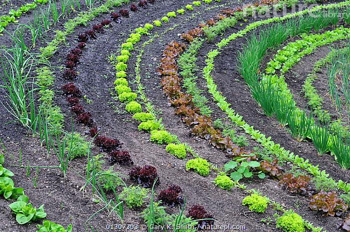 Rows of Lettuce (Lactuca sativa) and salad vegetables, Eden Project, Cornwall, England, UK, May, ENGLAND,EUROPE,GARDENS,LACTUCA SATIVA,SALADS,UK,VEGETABLES,United Kingdom, Gary K. Smith