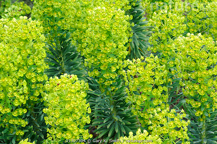 Spurge (Euphorbia characias) in flower, England, UK, April. Cultivated plant - native to Mediterranean.  ,  CULTIVATED,DICOTYLEDONS,ENGLAND,EUPHORBIACEAE,EVERGREEN,FLOWERS,GREEN,IRRITANT,PLANTS,Europe,United Kingdom  ,  Gary K. Smith