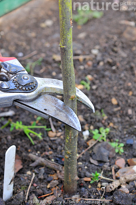 Fruit Propagation 'whip & tongue grafting', gardener grafting Apple (Malus sylvestris) onto M26 grafting stock, cutting back rootstock, UK, April. Sequence 1/7  ,  CLOSE UPS,CULTIVATED,CUTTING,DICOTYLEDONS,GARDENING,GARDENS,GRAFTING,GROWING,PLANTS,PROPAGATION,ROSACEAE,SECATEURS,SEQUENCE,TREES,VERTICAL,Europe,United Kingdom  ,  Gary K. Smith