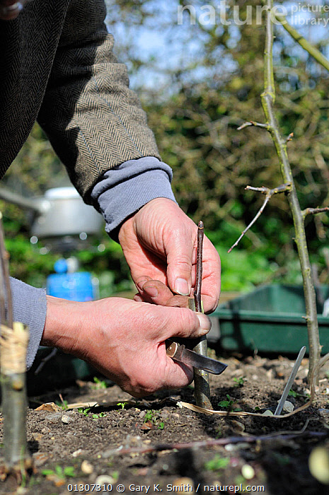 Fruit Propagation 'whip & tongue grafting' gardener grafting Apple (Malus sylvestris) onto M26 grafting stock, applying the scion, UK, April. Sequence 4/7  ,  CULTIVATED,DICOTYLEDONS,GARDENING,GARDENS,HANDS,KNIFE,MAN,PEOPLE,PLANTS,PROPAGATION,ROSACEAE,SCION,SEQUENCE,TASK,TREES,VERTICAL,Europe,United Kingdom  ,  Gary K. Smith