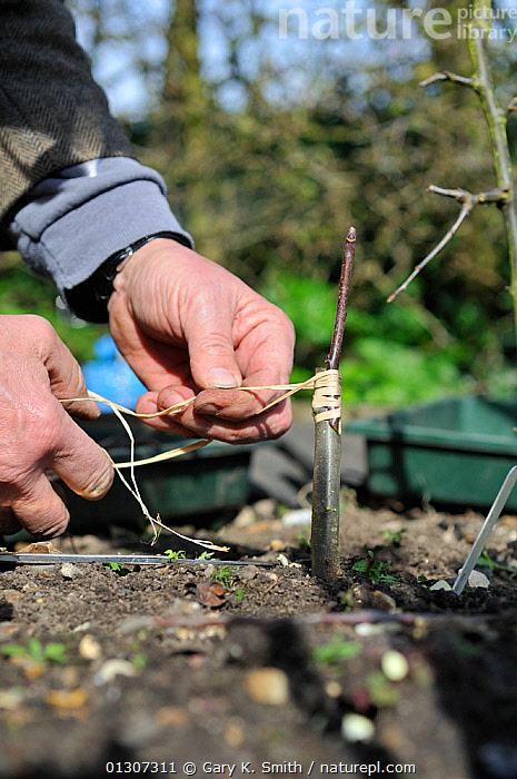 Fruit Propagation 'whip & tongue grafting' gardener grafting Apple (Malus sylvestris) onto M26 grafting stock, securing the scion with raffia, UK, April. Sequence 5/7  ,  CULTIVATED,DICOTYLEDONS,GARDENING,GARDENS,HANDS,KNIFE,MAN,PEOPLE,PLANTS,PROPAGATION,ROSACEAE,SCION,SEQUENCE,TASK,TREES,VERTICAL,Europe,United Kingdom  ,  Gary K. Smith