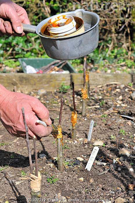 Fruit Propagation 'whip & tongue grafting' gardener grafting Apple (Malus sylvestris) onto M26 grafting stock, applying hot grafting wax to rootstock and attached scion, Sequence 6/7, UK, April  ,  CULTIVATED,DICOTYLEDONS,GARDENING,GARDENS,HANDS,KNIFE,MAN,PEOPLE,PLANTS,PROPAGATION,ROSACEAE,SCION,SEQUENCE,TASK,TREES,VERTICAL,Europe,United Kingdom  ,  Gary K. Smith