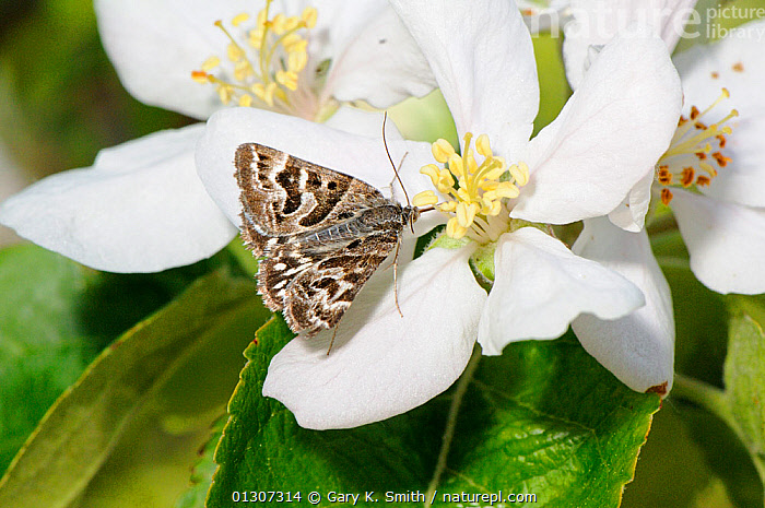 Mother Shipton moth (Callistege mi) feeding on  Crab apple (Malus baccata) blossom in hedgerow, Norfolk, UK, May  ,  FEEDING,FLOWERS,INSECTS,INVERTEBRATES,LEPIDOPTERA,MALUS BACCATA,MOTHS,NOCTUID MOTHS,SPRING,Europe,United Kingdom  ,  Gary K. Smith
