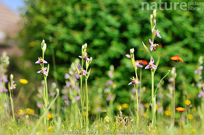 Bee Orchids (Ophrys apifera) growing on urban lawn, Norfolk, England, UK, June  ,  ENGLAND,FLOWERS,GARDENS,MIMICRY,MONOCOTYLEDONS,ORCHID,ORCHIDACEAE,ORCHIDS,PLANTS,URBAN,Europe,United Kingdom  ,  Gary K. Smith