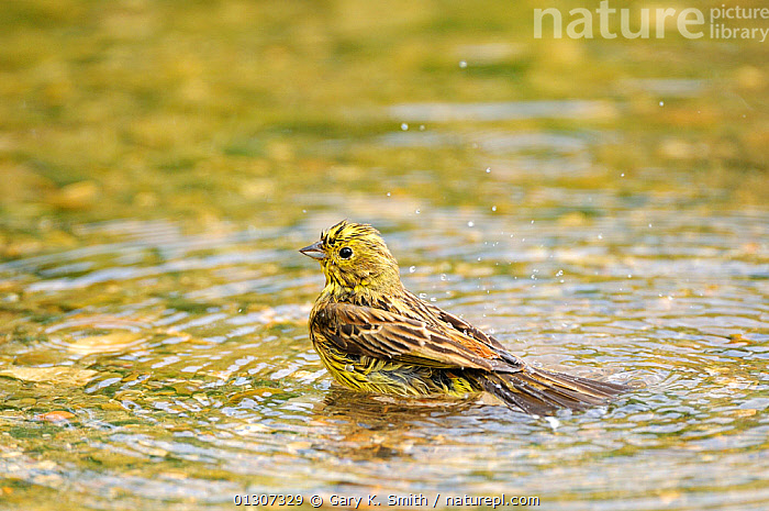 Yellowhammer (Emberiza citrinella) male bathing in shallow water, Norfolk, England, UK, May  ,  BATHING,BIRDS,BUNTINGS,ENGLAND,MALES,SONGBIRDS,SPLASHING,VERTEBRATES,WATER,Europe,United Kingdom  ,  Gary K. Smith