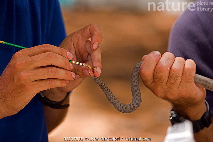 Twin-spotted Rattlesnake (Crotalus pricei)  biologists painting tail for indentification purposes, during scentific study. Arizona, USA  ,  CAPTIVE,HANDS,NORTH AMERICA,PEOPLE,REPTILES,RESEARCH,SCIENCE,SNAKES,USA,VERTEBRATES,VIPERS,Rattlesnakes  ,  John Cancalosi