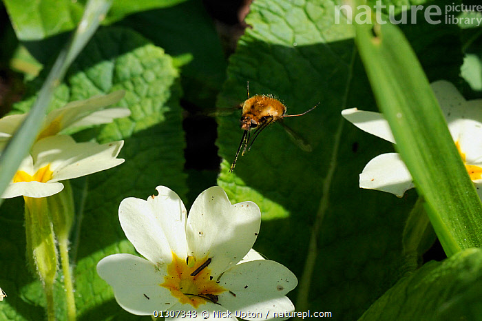 Common Bee Fly (Bombylius major) hovering above a Common Primrose flower (Primula vulgaris) Wiltshire garden, UK, April.  ,  BEE FLIES,DIPTERA,ENGLAND,FLIES,FLOWERS,FLYING,GARDENS,INSECTS,INVERTEBRATES,PARASITES,PLANTS,UK,Europe,United Kingdom  ,  Nick Upton