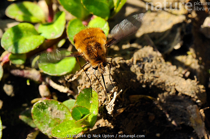 Common Bee Fly (Bombylius major) searching for solitary bee nest holes to parasitise. Wiltshire, UK, April.  ,  BEE FLIES,BEHAVIOUR,DIPTERA,EGGS,ENGLAND,FLIES,FLYING,GARDENS,INSECTS,INVERTEBRATES,PARASITES,PARASITISM,PLANTS,UK,Europe,United Kingdom  ,  Nick Upton