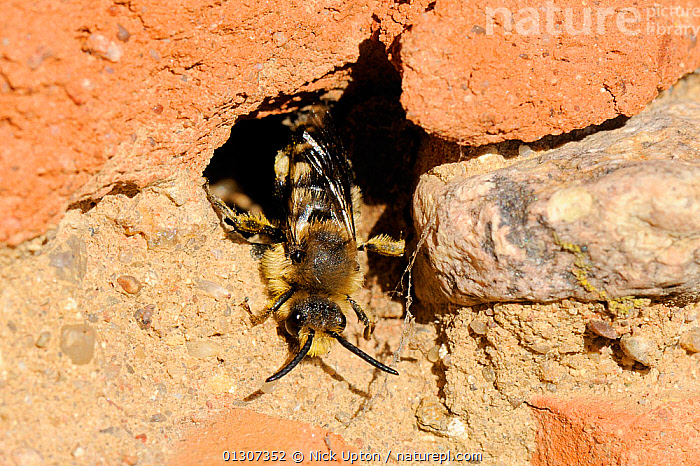 Cuckoo Bee (Melecta albifrons) a parasite of Hairy-footed flower bees (Anthophora plumipes) emerging from host nest in an old wall. Brandenburg, Germany, April.  ,  APIDAE,BEES,EUROPE,GERMANY,HYMENOPTERA,INSECTS,INVERTEBRATES,NESTS,PARASITES  ,  Nick Upton