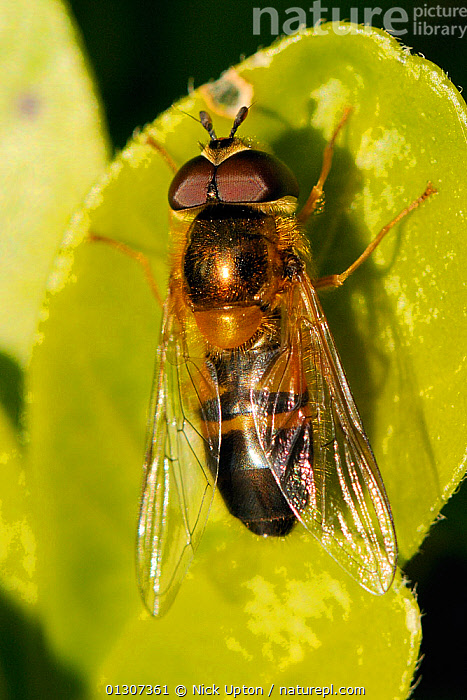Male Hoverfly (Epistrophe elegans) sun basking on a leaf. Wiltshire garden, UK, April.  ,  DIPTERA,ENGLAND,EUROPE,FLIES,GARDENS,HOVERFLIES,INSECTS,INVERTEBRATES,MALES,PLANTS,PORTRAITS,SUNBATHING,SYRPHIDAE,THERMOREGULATION,UK,VERTICAL,United Kingdom  ,  Nick Upton