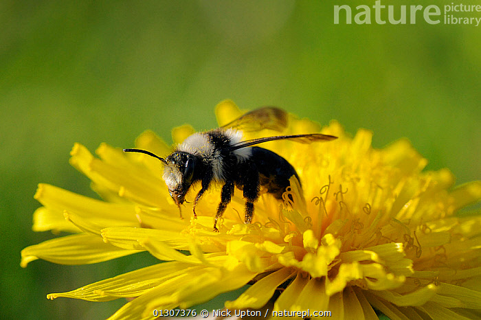 Grey Mining Bee (Andrena cineraria) preparing to take off from a Dandelion flower (Taraxacum sp.). Wiltshire pastureland, UK, April.  ,  ARTHROPODS,BEES,ENGLAND,FLOWERS,FORAGING,HYMENOPTERA,INSECTS,INVERTEBRATES,SOLITARY,TAKE OFF,UK,Europe,United Kingdom  ,  Nick Upton