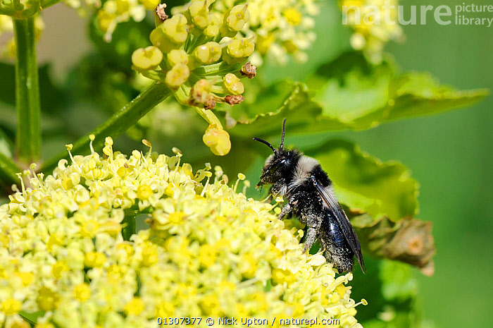 Grey Mining Bee (Andrena cineraria) on Alexanders (Smyrnium olusatrum) flowerhead. Cornwall, UK, April.  ,  APIACEAE,ARTHROPODS,BEES,CLOSE UPS,ENGLAND,FEEDING,FLOWERS,FORAGING,HYMENOPTERA,INSECTS,INVERTEBRATES,SOLITARY,UK,Europe,United Kingdom  ,  Nick Upton