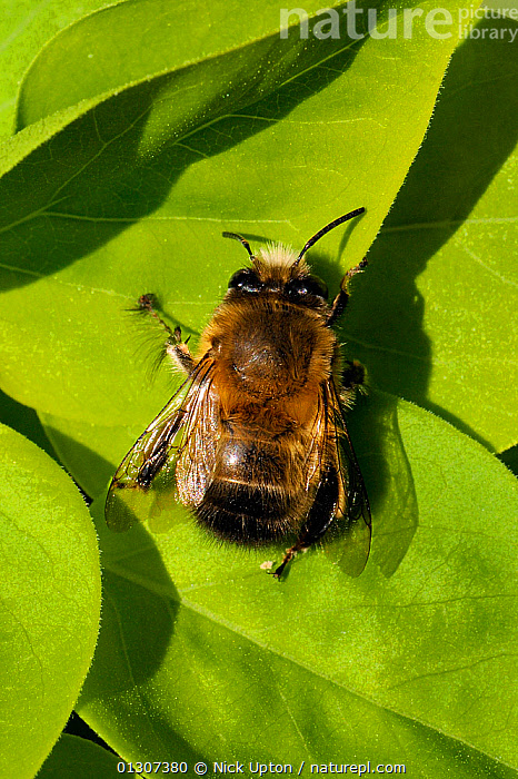 Hairy footed flower bee (Anthophora plumipes) male, sun basking on a leaf, Wiltshire garden, UK, April.  ,  APIDAE,BEES,ENGLAND,GARDENS,HYMENOPTERA,INSECTS,INVERTEBRATES,MALES,PLANTS,PORTRAITS,SOLITARY,THERMOREGULATION,UK,VERTICAL,Europe,United Kingdom  ,  Nick Upton