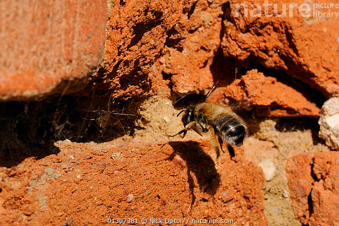 Hairy-footed flower bee (Anthophora plumipes) female flying back to her burrow in an old wall. Brandenburg, Germany, April.  ,  APIDAE,BEES,EUROPE,FEMALES,FLYING,GERMANY,HYMENOPTERA,INSECTS,INVERTEBRATES,NESTS,SOLITARY,WALLS  ,  Nick Upton