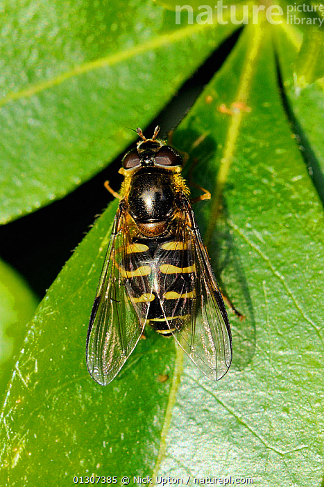 Hoverfly (Dasysyrphus venustus) female sun basking on a leaf. Wiltshire garden, UK, May.  ,  DIPTERA,ENGLAND,FEMALES,FLIES,GARDENS,HOVER FLIES,INSECTS,INVERTEBRATES,PLANTS,PORTRAITS,SUNBATHING,SYRPHIDAE,THERMOREGULATION,UK,VERTICAL,YELLOW,Europe,United Kingdom,,hover-fly,  ,  Nick Upton