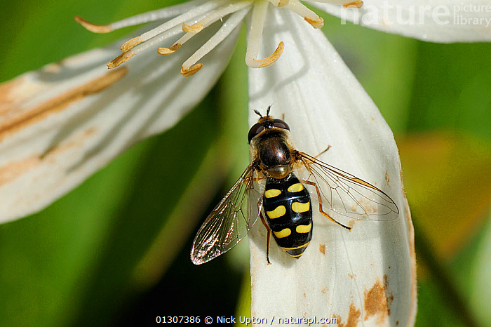 Hoverfly (Eupeodes luniger) approaching anthers of Clematis (Clematis almondii) flower. Wiltshire garden, UK, May.  ,  DIPTERA,ENGLAND,FEEDING,FLIES,FLOWERS,FORAGING,GARDENS,HOVERFLIES,HOVER FLIES,HOVER FLY,INSECTS,INVERTEBRATES,PLANTS,PORTRAITS,RANUNCULACEAE,SYRPHIDAE,UK,Europe,United Kingdom  ,  Nick Upton
