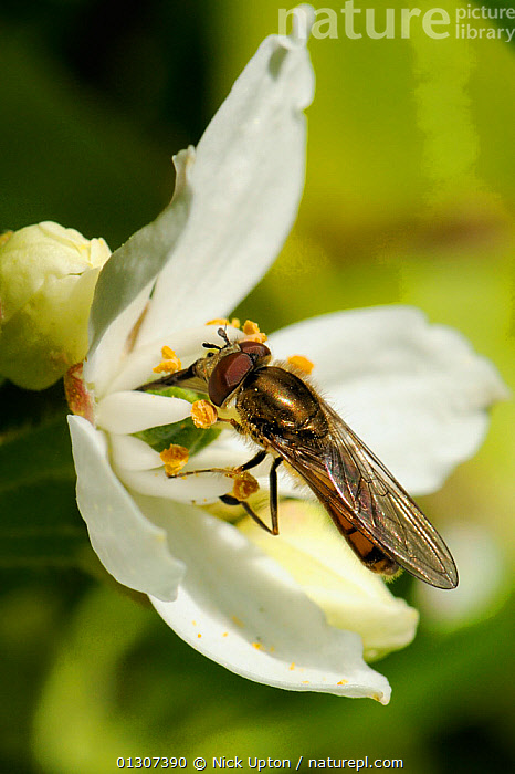 Hoverfly (Platycheirus sp.) feeding on Mexican orange blossom (Choisya ternata) Wiltshire garden, UK, May.  ,  DIPTERA,ENGLAND,FEEDING,FLIES,FLOWERS,FORAGING,GARDENS,HOVER FLIES,INSECTS,INVERTEBRATES,PLANTS,PORTRAITS,RUTACEAE,SYRPHIDAE,UK,VERTICAL,Europe,United Kingdom,,hover-fly,  ,  Nick Upton